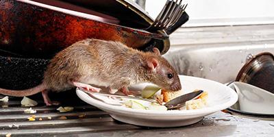 Rattenbekaempfung-Aufmacher